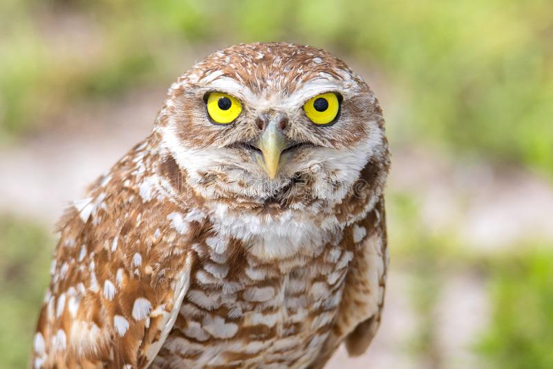 Face Of A Burrowing Owl. Closeup of the face of a Burrowing Owl stock images