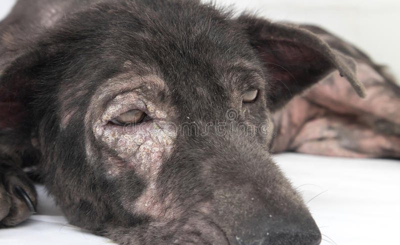 Closeup face of dog sick leprosy skin problem with white background royalty free stock images