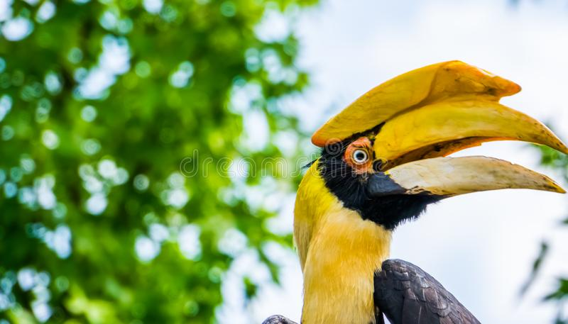 Closeup of the face of a great indian hornbill, Beautiful and colorful bird, Vulnerable animal specie from Asia. A closeup of the face of a great indian hornbill stock photography