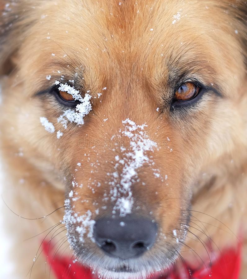 Closeup Face Headshot of Dog in winter royalty free stock photo