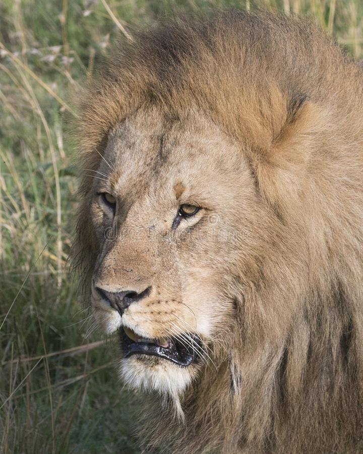 Closeup face of large male lion royalty free stock image