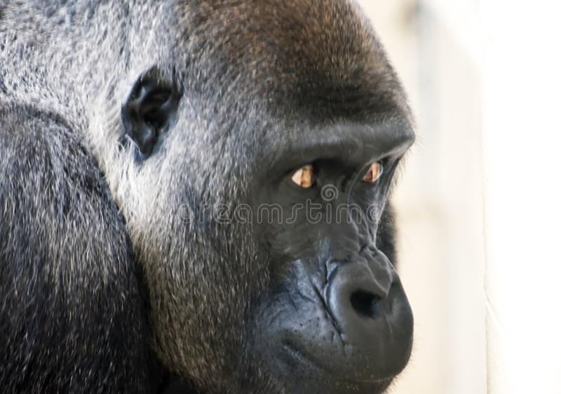 A face shot of a gorilla. royalty free stock image