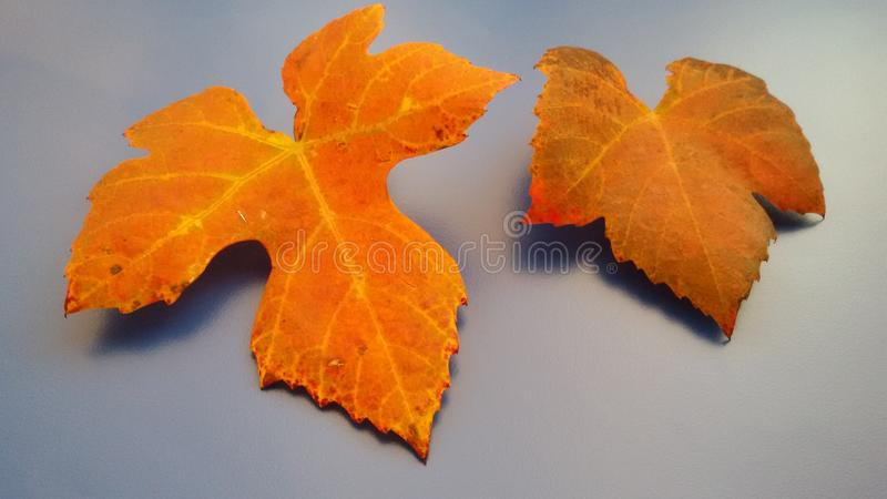 Autumn leaves in beautiful colors. Seasonal concept. Color changing leaves. royalty free stock images