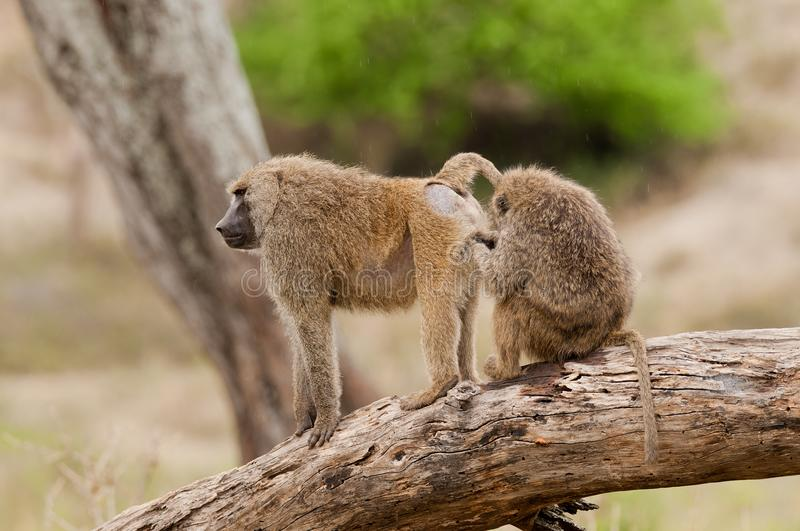 Closeup of family of Olive Baboons royalty free stock photo