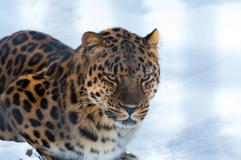 Closeup of a Far Eastern Amur Leopard royalty free stock images