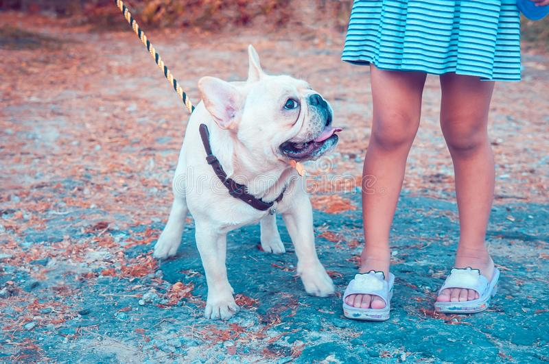Closeup of a fawn white French Bulldog looking at a little girl in vintage dress stock photography