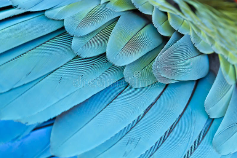 Closeup feather blue and gold Macaw. Background royalty free stock photo