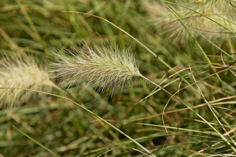 1 Plant Feathertop FREE P//P WHEN YOU BUY 3+ ITEMS Pennisetum villosum