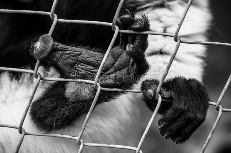 Feet and hands of black and white lemur on metallic fence. Closeup  of feet and hands of black and white lemur on metallic fence royalty free stock photo