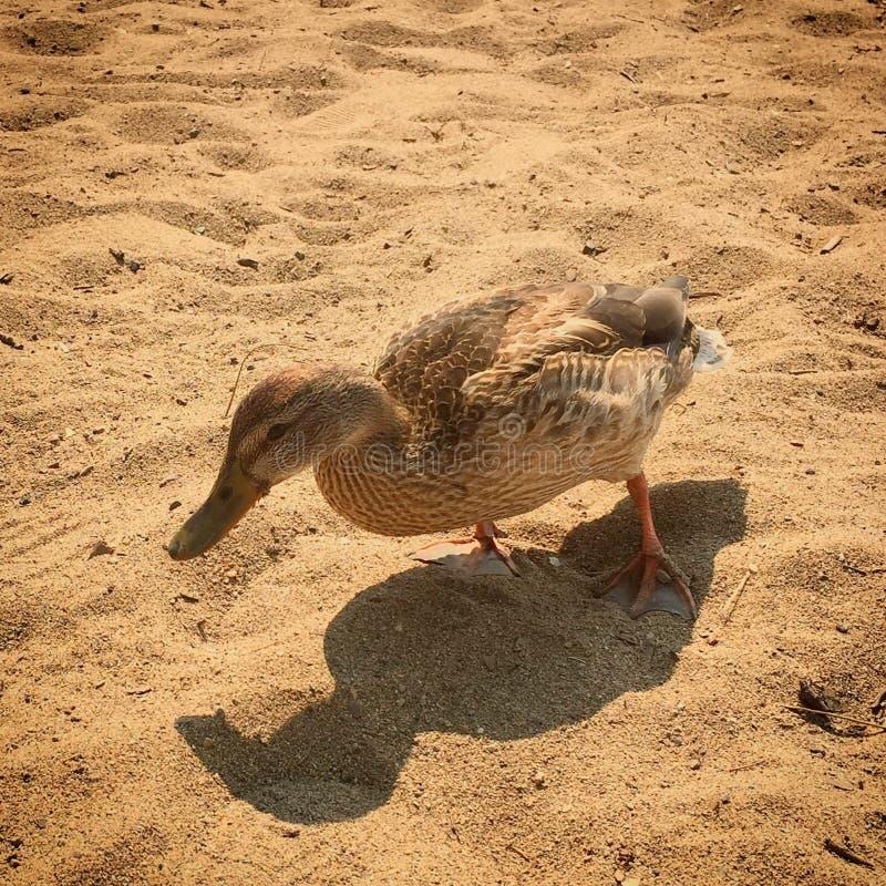 Closeup of female duck walking on sandy beach. royalty free stock image