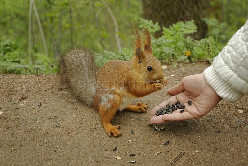 Female hand with sunflower seeds feeding a squirrel stock photos