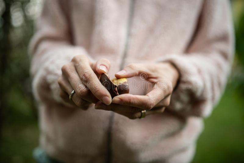 Closeup of female hands peeling a chestnut stock photo