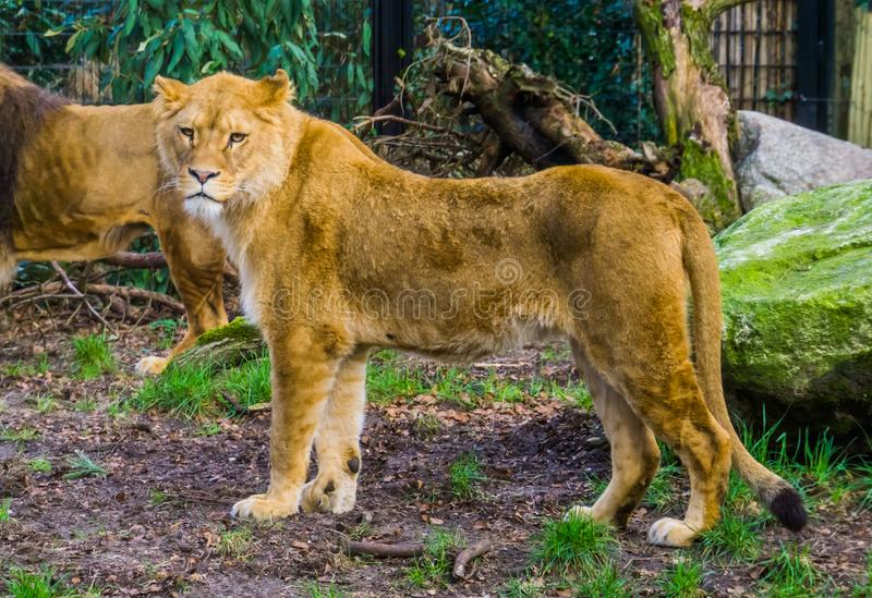 Closeup of a female lion, popular animal from the savanna of Africa, vulnerable animal species royalty free stock photos