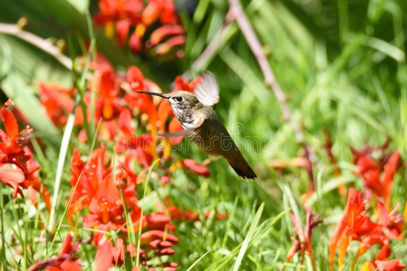 Closeup of a Female Rufous Hummingbird  hovering close to the flower.  royalty free stock images