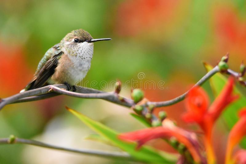Closeup of a Female Rufous Hummingbird perched on a branch with copy space. 