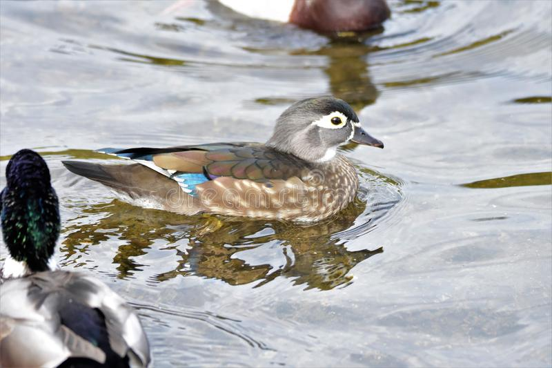 A closeup of female Wood duck swimming  on the lake. stock images