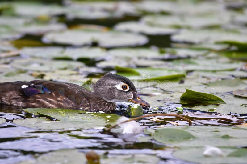A closeup of female Woodduck on the lake. stock photography