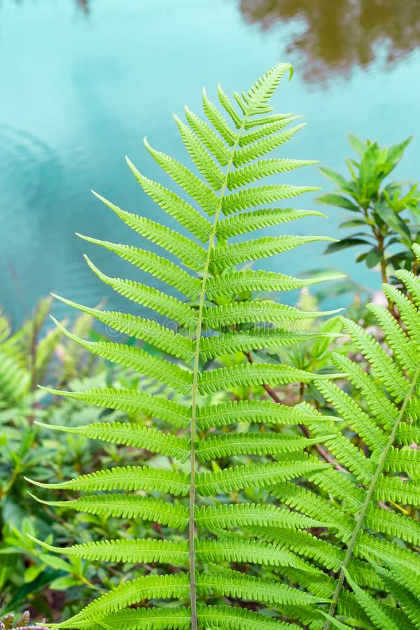 Closeup fern leaf with garden pond background royalty free stock image