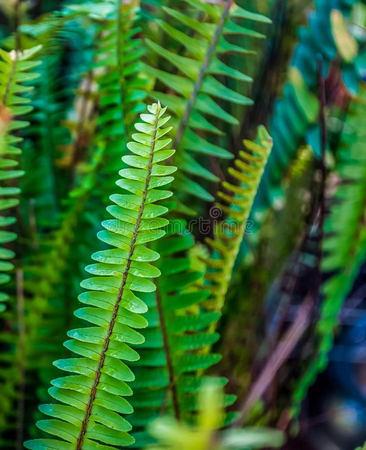 closeup of fern leaf royalty free stock photography