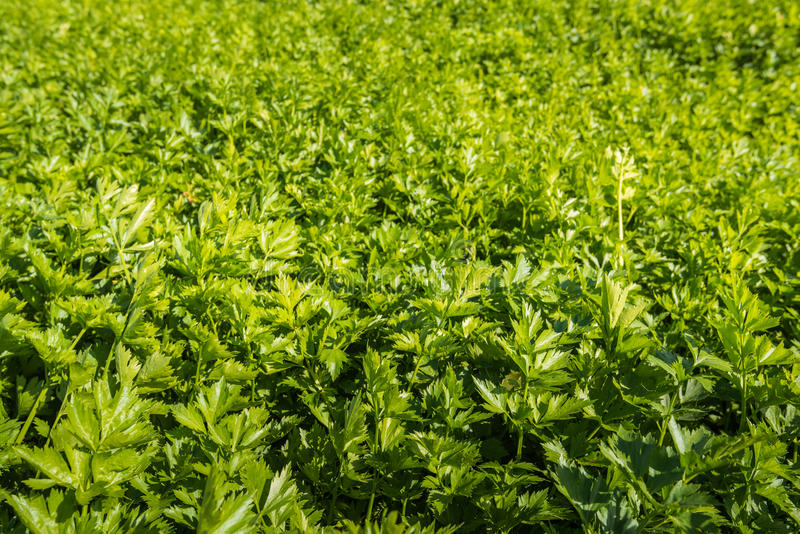 Closeup of a field filled with celeriac. Celeriac plants growing in the summer sun on the field of a horticultural company stock photography