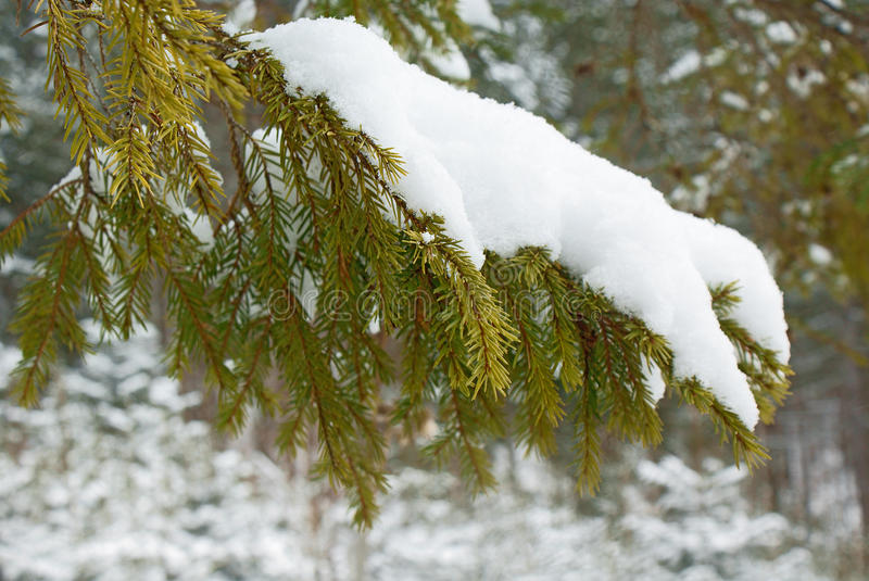Closeup fir branch covered with snow in wild stock image