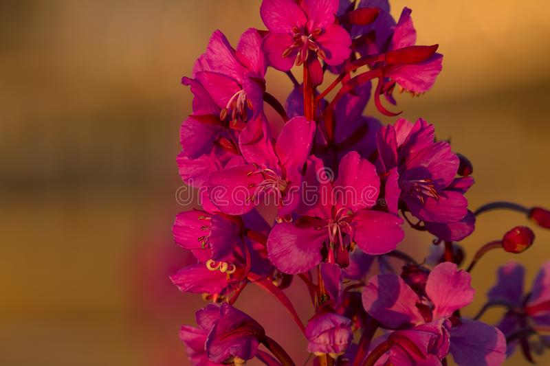 Closeup Fireweed Blossoms in Golden Light stock photo