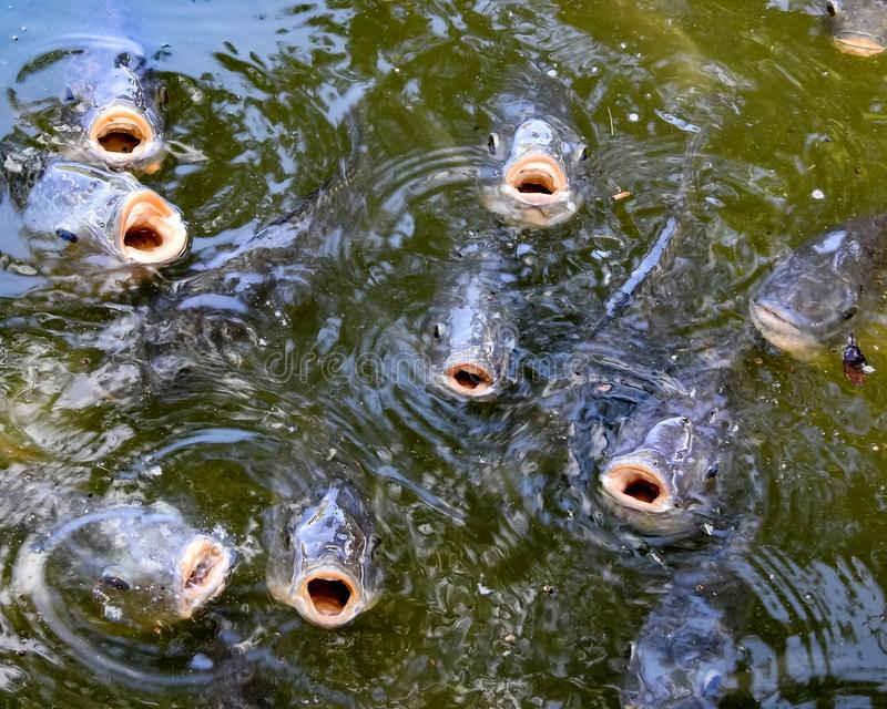 Closeup of Several Hungry Fish Mouths stock image