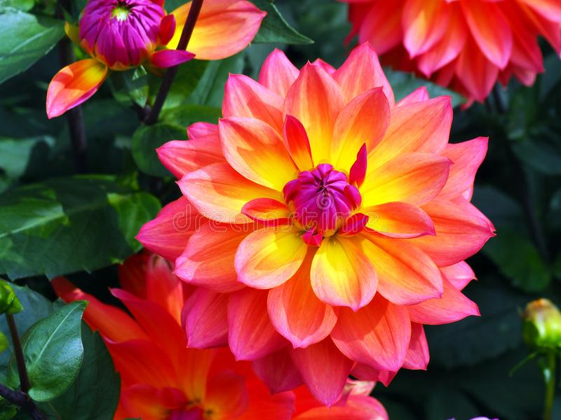 Closeup of a flaming multicolored orange, yellow and pink double blooming Dahlia and green leafs background. Closeup of a flaming multicolored orange, yellow and royalty free stock photography