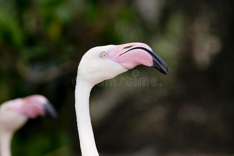 Closeup of a flamingo face. Animal on nature background royalty free stock photos