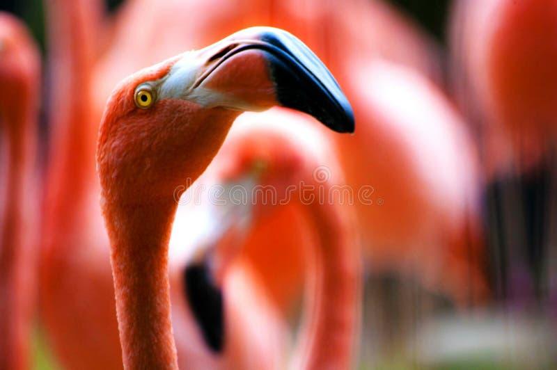 Closeup Of Flamingo Head Free Public Domain Cc0 Image