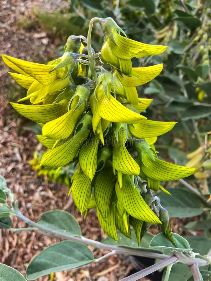 Free Closeup Flower Of Green Regal Birdflower Growing In Perth, Western Australia Stock Photos - 118419823