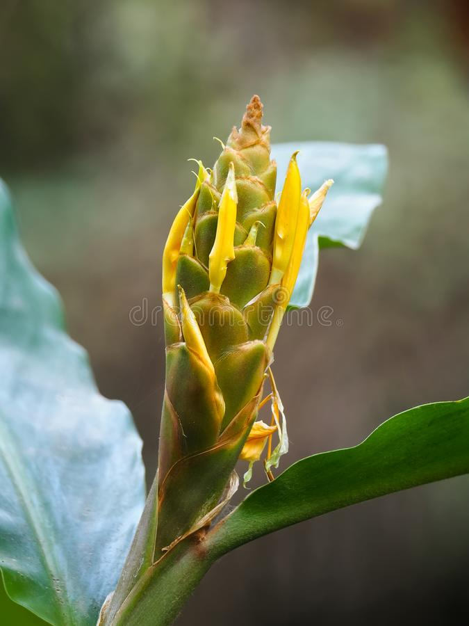 Closeup flower of Yellow ginger, known as Cream garland-lily growing in Nepal, Asia stock image