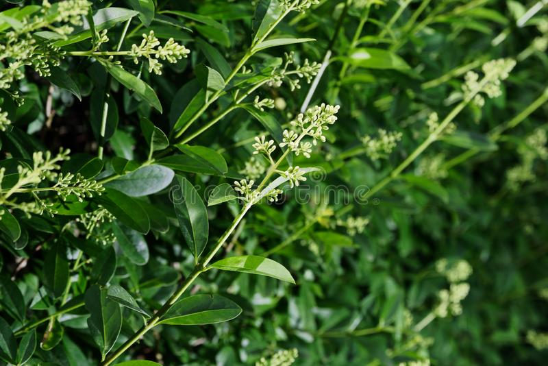 Closeup of a flowering branch of privet hedge. Ligustrum plant royalty free stock photo