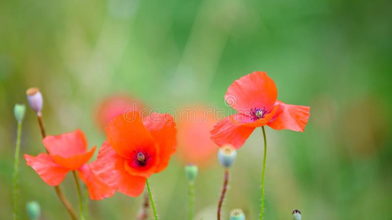 Poppies blooming in summer field, flowering poppies and poppy seed capsules stock photos