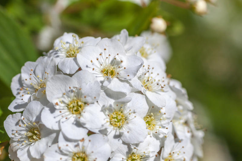 Closeup of flowering shrub bridal wreath spirea, floral background royalty free stock images