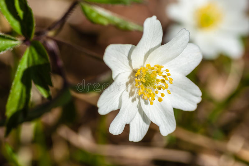 Download Wood anemone stock image. Image of springtime, blooming - 29985893