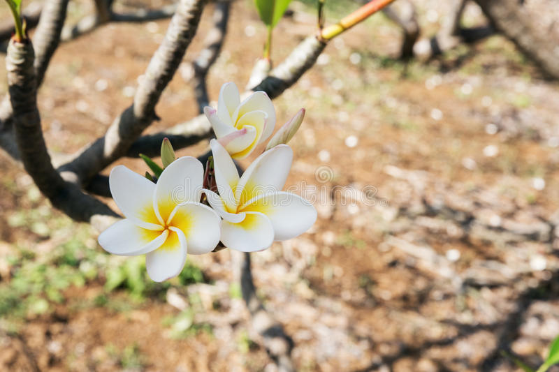 Closeup of the flowers of the Plumeria Rubra in the Koko Crater Botanical Garden. Selective focus on the first flowers; background is blurred royalty free stock photo