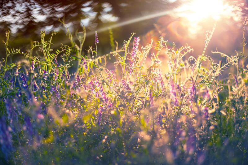 Closeup forest glade with flowers in the light of evening sun. Natural sunset background royalty free stock photography