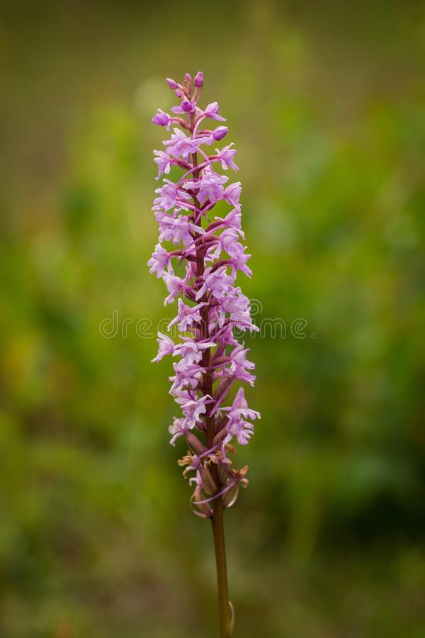 Closeup of Fragrant orchid Gymnadenia conopsea ssp. densiflora. Bloom of pink orchid. Wildlife scene from nature. Bloom plant in the meadow habitat royalty free stock images