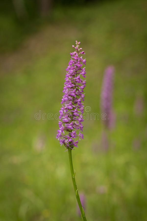 Closeup of Fragrant orchid Gymnadenia conopsea ssp. densiflora. Bloom of pink orchid. Wildlife scene from nature. Bloom plant in the meadow habitat royalty free stock photos