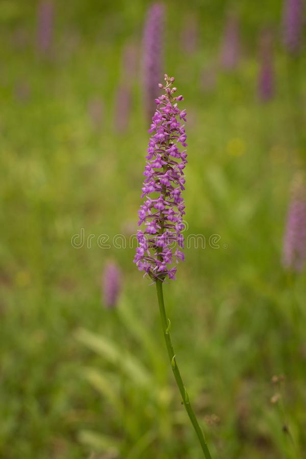 Closeup of Fragrant orchid Gymnadenia conopsea ssp. densiflora. Bloom of pink orchid. Wildlife scene from nature. Bloom plant in the meadow habitat royalty free stock photo