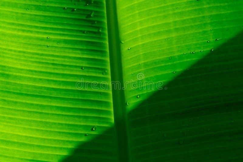 Closeup fresh banana leaf with water drop. Green leaf of banana texture background. Nature of tropical plant. Green organic banana stock photos