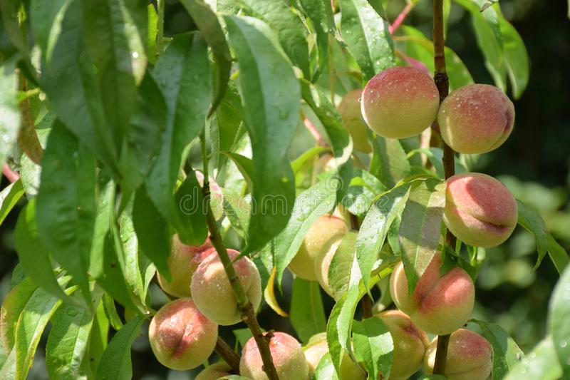 Closeup of fresh fruits- peaches on branches in morning sunlight after summer rain royalty free stock images