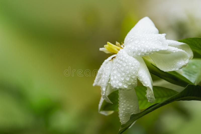Closeup of fresh Gardenia flowers with dew drops in tropical garden. copy space. White Jasmine flower with water drops stock photos