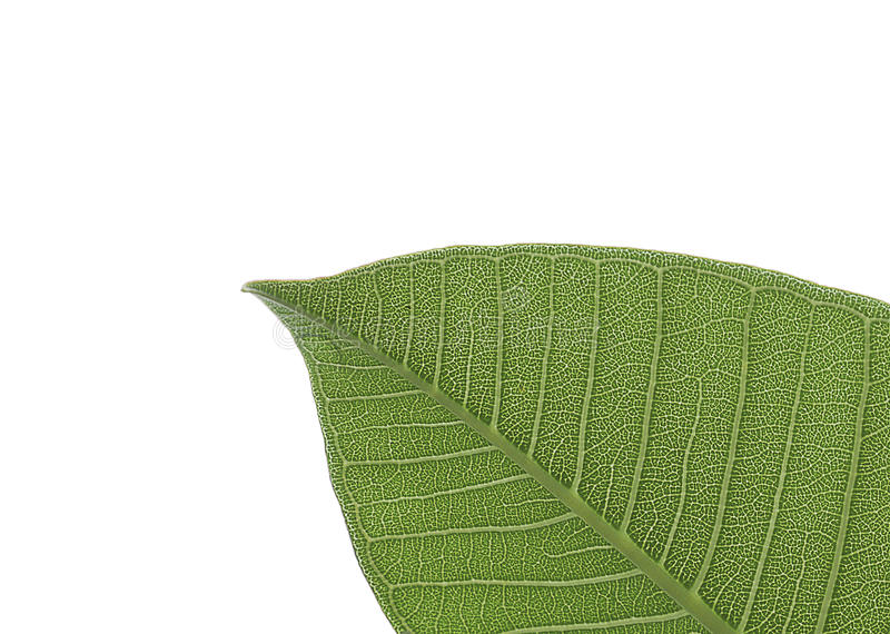 Closeup fresh green leaf from Plumeria tree royalty free stock image