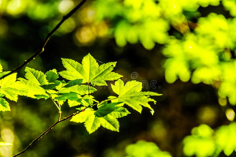 Fresh green Maple Leafs in a forest in British Columbia, Canada. Closeup of fresh green Maple Leafs in a forest, also Canada`s national emblem, in British stock photography