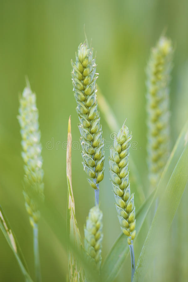 Download Closeup Of A Fresh Green Wheat Plant In A Field Stock Photo - Image: 9868240