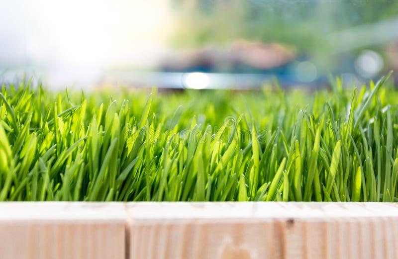 Closeup of fresh growing green grass at bright sunny day. Closeup shot of fresh growing green grass at bright sunny day royalty free stock image