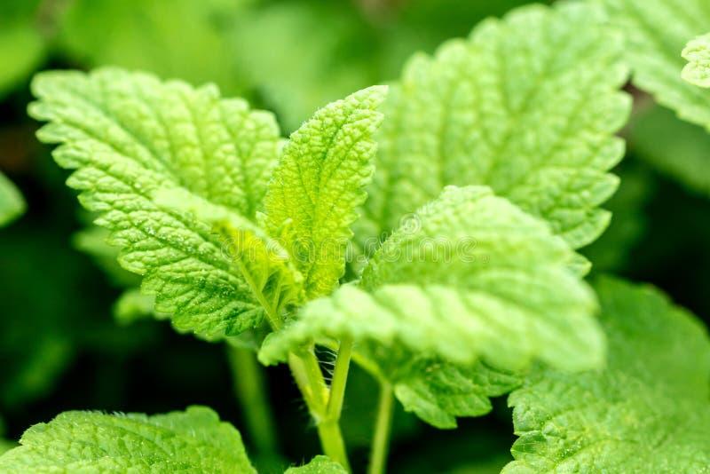 Closeup, fresh lemon balm leaves, Melissa officinalis for essential oil or medical ingredient stock images
