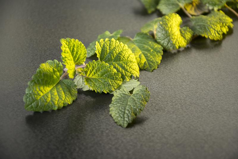Closeup fresh mint on a table golden light on leaves stock photography